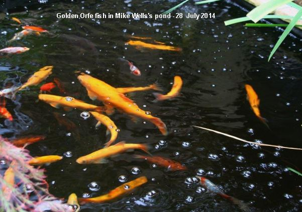 Emsworth wildlife diary for Golden ornamental pond fish